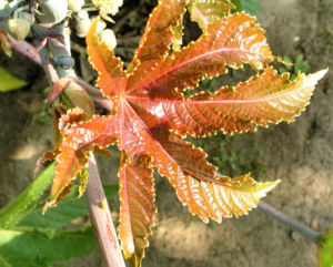 Wunderbaum Rizinus Blatt Bluete Frucht rot Ricinus communis 02