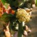 Zurück zum kompletten Bilderset Wunderbaum Rizinus Blatt Blüte Frucht rot Ricinus communis