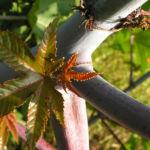Wunderbaum Rizinus Blatt Bluete Frucht rot Ricinus communis 13