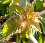 Wunderbaum Rizinus Blatt Bluete Frucht rot Ricinus communis 14