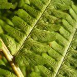 Wurmfarn Dryopteris 04