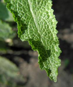 Ysop Blatt gruen Hyssopus officinalis 19