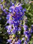 Ysop Bluete blau Hyssopus officinalis 01
