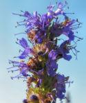 Ysop Bluete blau Hyssopus officinalis 02
