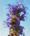 Zurück zum kompletten Bilderset Echter Ysop Blüte blau Hyssopus officinalis