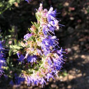 Ysop Bluete blau Hyssopus officinalis 04