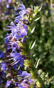 Ysop Bluete blau Hyssopus officinalis 05