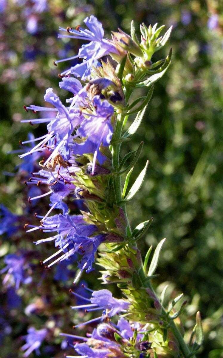 Ysop Bluete blau Hyssopus officinalis