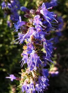 Ysop Bluete blau Hyssopus officinalis 06