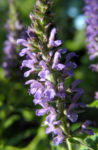Ysop Bluete blau Hyssopus officinalis 19