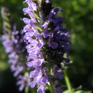 Ysop Bluete blau Hyssopus officinalis 22