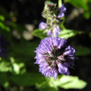 Bild: Ysop Bluete blau Hyssopus officinalis