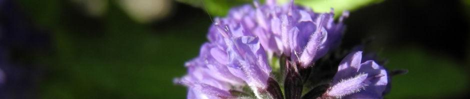 ysop-bluete-blau-hyssopus-officinalis