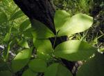 Zapfennuss Blatt gruen Platycarya strobilacea 01