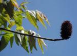 Zapfennuss braun Platycarya strobilacea 04