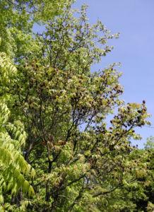 Zapfennuss braun Platycarya strobilacea 06