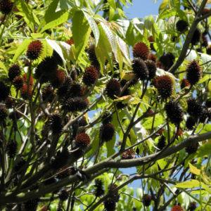 Zapfennuss braun Platycarya strobilacea 07