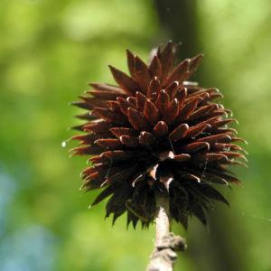Zapfennuss braun Platycarya strobilacea 12