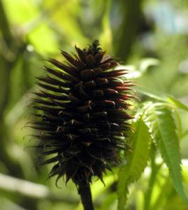 Zapfennuss braun Platycarya strobilacea 13