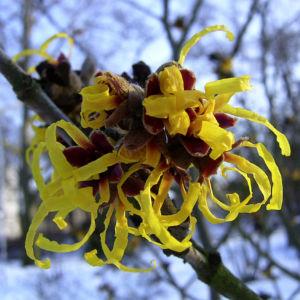 Zaubernuss Bluete gelb im Schnee Hamamelis virginiana 03