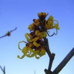 Zaubernuss Bluete gelb im Schnee Hamamelis virginiana 04