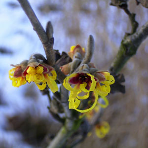 Zaubernuss Bluete gelb im Schnee Hamamelis virginiana 05