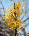 Zurück zum kompletten Bilderset Virginische Zaubernuss Blüte gelb Schnee Hamamelis virginiana