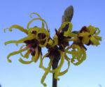 Zaubernuss Bluete gelb im Schnee Hamamelis virginiana 08