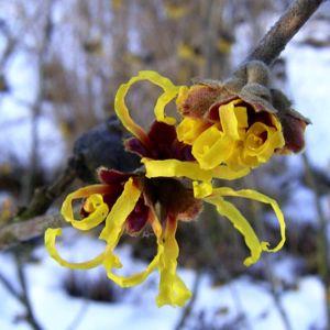 Zaubernuss Bluete gelb im Schnee Hamamelis virginiana 09