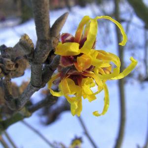 Zaubernuss Bluete gelb im Schnee Hamamelis virginiana 10
