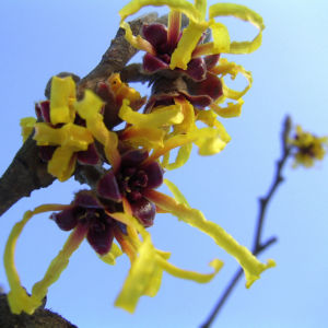 Zaubernuss Bluete gelb im Schnee Hamamelis virginiana 11