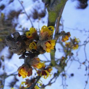 Zaubernuss Bluete gelb im Schnee Hamamelis virginiana 12