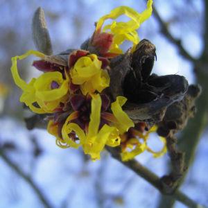Zaubernuss Bluete gelb im Schnee Hamamelis virginiana 13