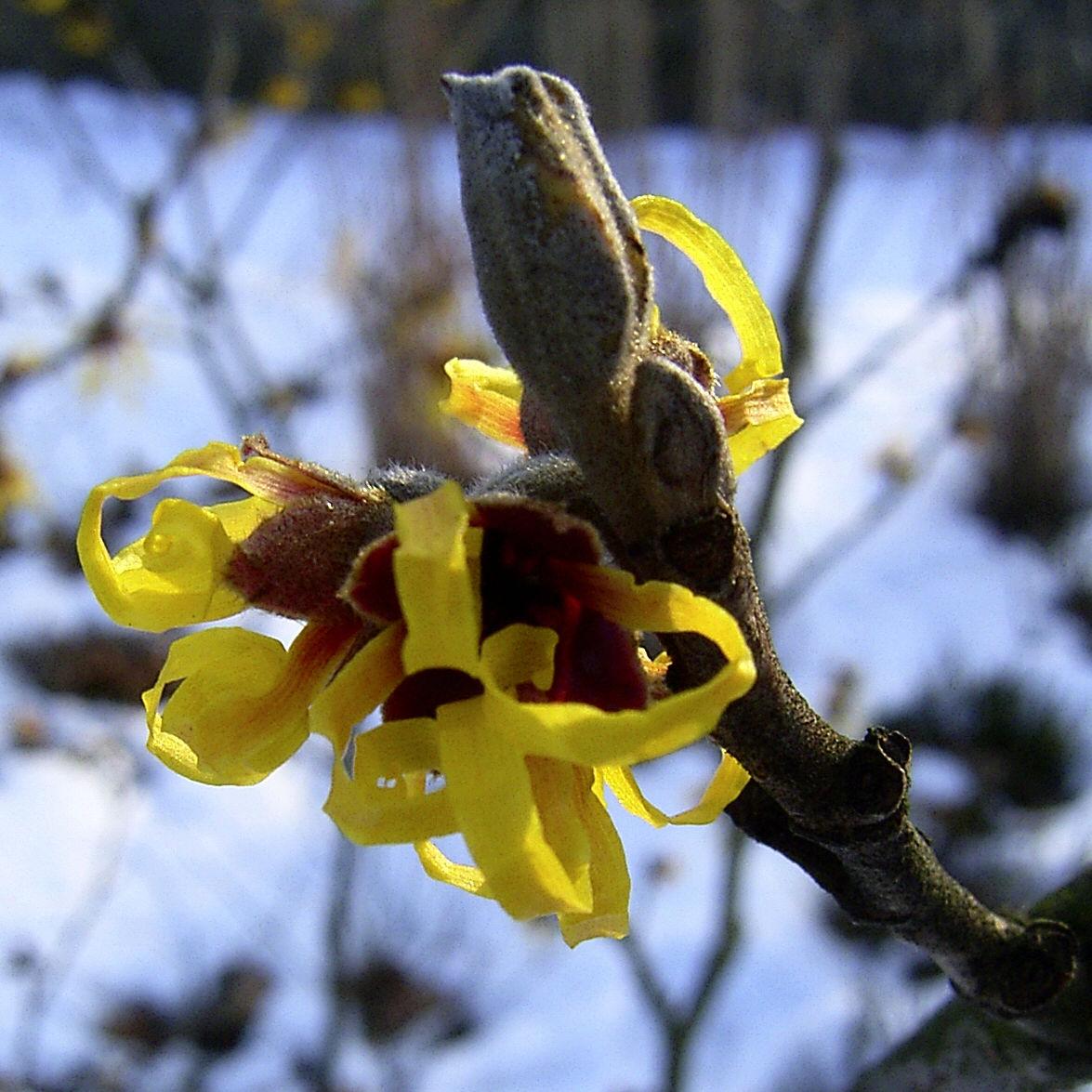 Zaubernuss Bluete gelb im Schnee Hamamelis virginiana
