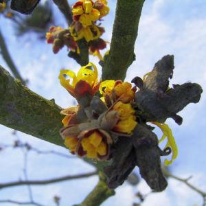 Zaubernuss Bluete gelb im Schnee Hamamelis virginiana 16