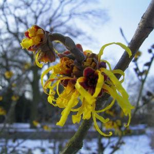 Zaubernuss Bluete gelb im Schnee Hamamelis virginiana 17
