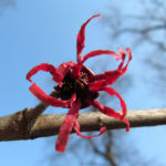 Bild: Hybrid-Zaubernuss Strauch Blüte rot Hamamelis x intermedia