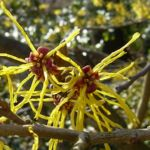 Bild: Chinesische Zaubernuss Blüte gelb Hamamelis mollis
