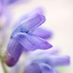 Zaun Wicke Bluete violett Vicia sepium 01