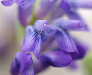 Zaun Wicke Bluete violett Vicia sepium 02