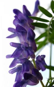 Zaun Wicke Bluete violett Vicia sepium 03