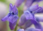 Zaun Wicke Bluete violett Vicia sepium 04