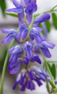 Zaun Wicke Bluete violett Vicia sepium 05