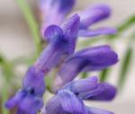 Zaun Wicke Bluete violett Vicia sepium 06