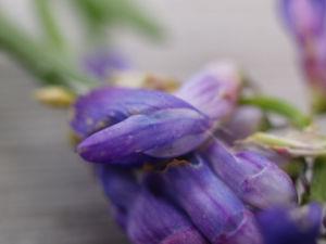 Zaun Wicke Bluete violett Vicia sepium 08