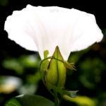 Bild: Acker-Winde Kraut Blüte weiß Convolvulus arvensis