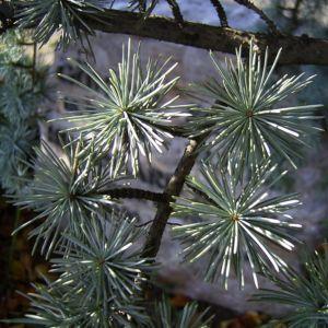 Zeder Cedrus brevifolia 02