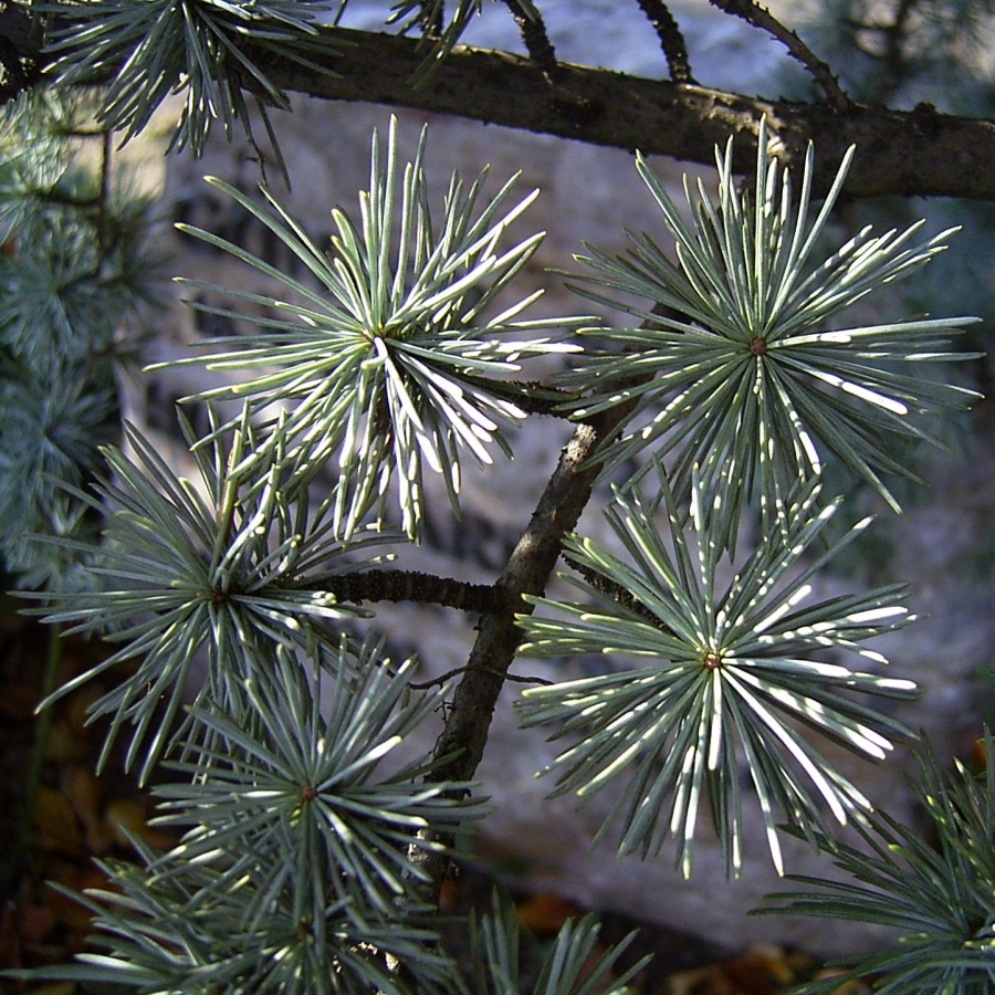 Zeder Cedrus brevifolia