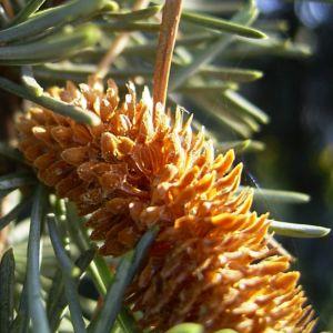 Zeder Cedrus brevifolia 03