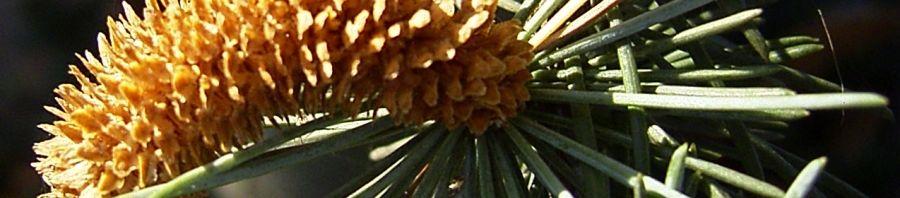 Anklicken um das ganze Bild zu sehen Zypern-Zeder Nadel blaugrün Cedrus brevifolia